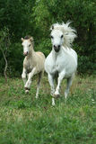 Pony mare with foal running