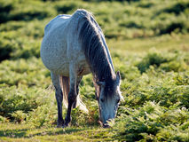 White Pony. In the New Forest Royalty Free Stock Photos