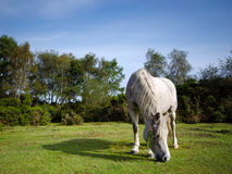 White Pony 2. White Pony in the New Forest Royalty Free Stock Photography