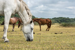 White pony in New Forest National Park. White pony in the foreground grazing. In the background several brown ponies. Scenery in New Forest National Park Stock Photography