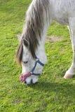 White Pony Pasturing Stock Photo