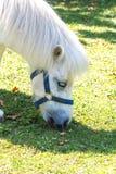 White Pony Portrait Royalty Free Stock Photos