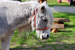 White Pony Royalty Free Stock Photography