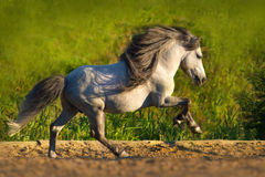 White pony run gallop. White beautiful pony with long mane run gallop Royalty Free Stock Photography