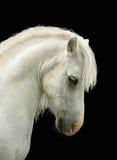 White pony's head. Pony looks a very proudly Royalty Free Stock Photography
