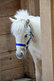 White pony in stall Royalty Free Stock Image