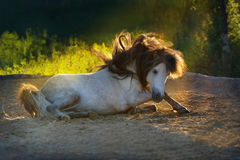 White pony stallion rolling Royalty Free Stock Photography