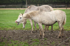 White pony in mud yawn Stock Photography