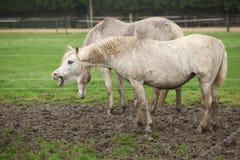 White pony in mud yawn