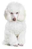 White poodle. Isolated on a white background royalty free stock images