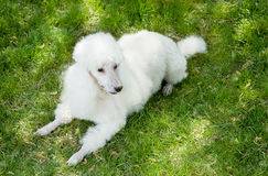White poodle Stock Images