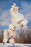 White poodle Royalty Free Stock Image