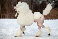 White poodle Stock Photo