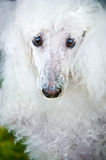 White poodle Stock Photography