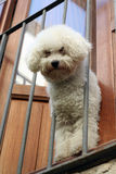 White poodle. Pure breed white french poodle peeking out from balcony Stock Photo