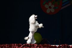 White poodle. On the stage Royalty Free Stock Photo