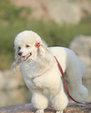 White poodle. White Standard poodle, pet dog Royalty Free Stock Photography