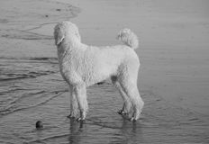 White poodle on beach Royalty Free Stock Images
