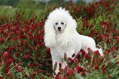 White poodle Stock Photo