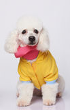 White poodle in colorful costume Royalty Free Stock Images