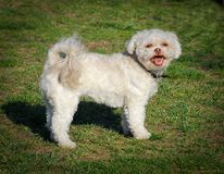 White poodle dog Royalty Free Stock Photography