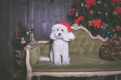 White poodle dog with christmas hat, portrait stock photography