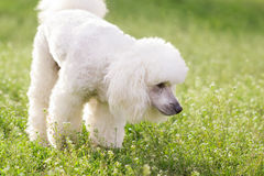 White poodle dog on green grass  field Stock Images