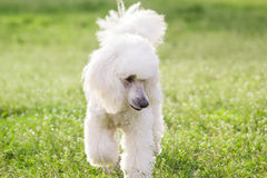 White poodle dog on green grass  field Stock Photos