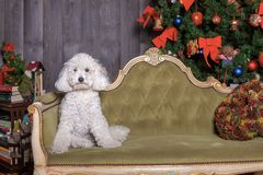 White poodle dog posing in Christmas set royalty free stock photo