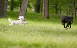 White poodle dog running chasing playing with other dog. On green grass field stock images