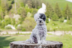 White poodle dog sitting on a tree trunk in the mountain Stock Photography