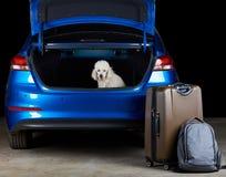 White poodle dog sitting in trunk. Of modern blue sedan car Stock Image