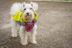 White Poodle Dog Royalty Free Stock Images