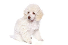 White poodle in front. Of white background stock photo