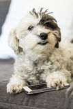 White poodle holding a smart phone Royalty Free Stock Photo