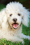 White poodle  lay on grasss Stock Image