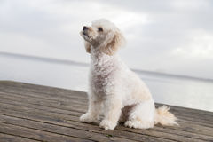 White poodle mongrel. Sits on wood planks Royalty Free Stock Photo
