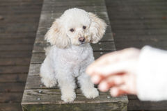 White poodle mongrel sits on wood planks. And looks to a human hand royalty free stock image