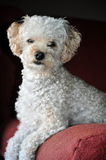 White Poodle Portrait. White poodle on red chair posing for camera Stock Photos