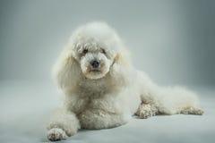 White poodle posing Stock Photos