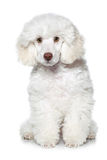 White poodle puppy. On white background royalty free stock image