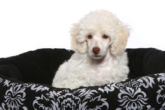 White poodle puppy. Poodle puppy in basket on a white background royalty free stock photography