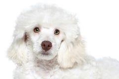 White poodle puppy. On white background royalty free stock photos