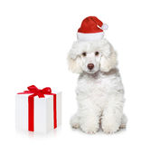 White poodle puppy with chrismas gift. On white background royalty free stock image