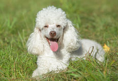 White poodle puppy in grass royalty free stock images