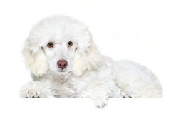 White poodle puppy with green eyes. Isoalted royalty free stock image
