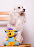 White poodle puppy Royalty Free Stock Image