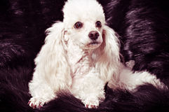 White poodle puppy Stock Image
