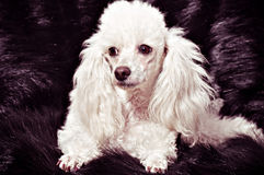 White poodle puppy Royalty Free Stock Photography