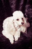 White poodle puppy Royalty Free Stock Photo
